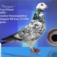 บทความนกพิราบแข่งเลี้ยงนกอย่างผู้ชนะโดย-ดร-ธีระชน-มโนมัยพิบูลย์-ต