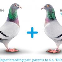 นกพิราบที่แพงที่สุดในโลกตอนที่2